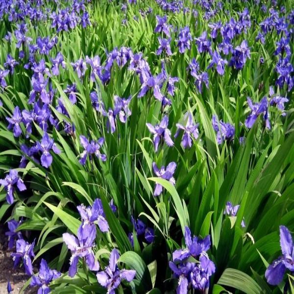 高30公分紫花鳶尾