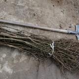 突尼斯软籽石榴树