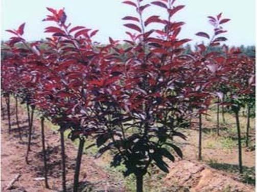 山西2公分紫葉矮櫻