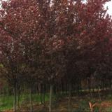 山西2~4公分紫叶李