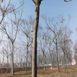 4公分栾树