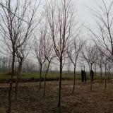 7公分流苏树价格 流苏树多少钱一棵