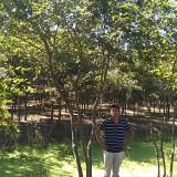 三头丛生朴树