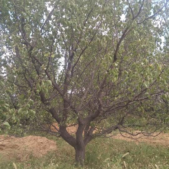 5米高杏树