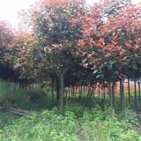 3公分红叶石楠