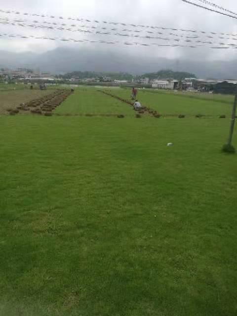 宁德马尼拉草坪