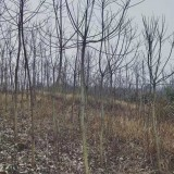 15公分重阳木