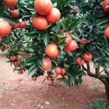 红宝石柑桔苗