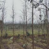 8公分池杉