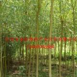 米径5公分金丝垂柳