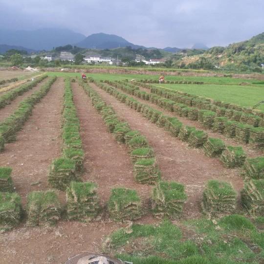 宁德绿化草皮·宁德马尼拉草皮