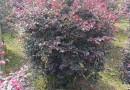 高1.2米红花继木球