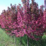 红叶海棠树