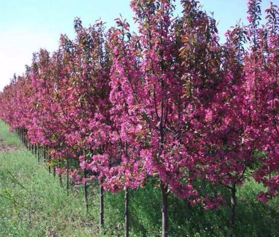 紅葉海棠樹