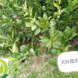 大叶尾张柑橘苗