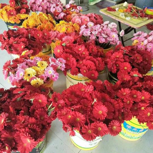 非洲菊鲜花