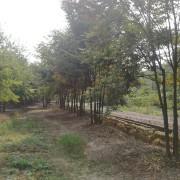 30公分丛生榉树