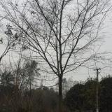 10-50公分樸樹