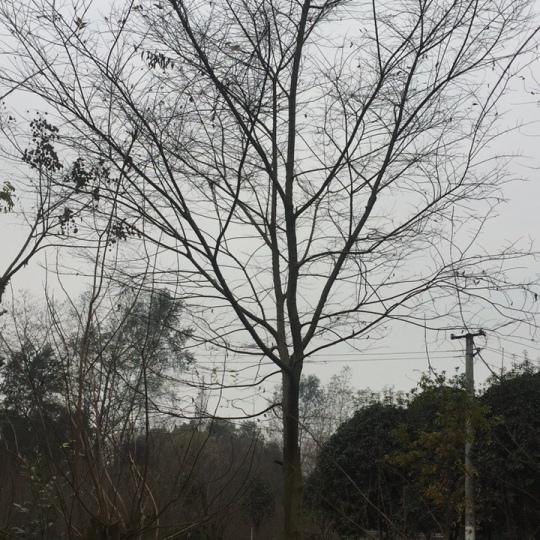10-50公分朴树