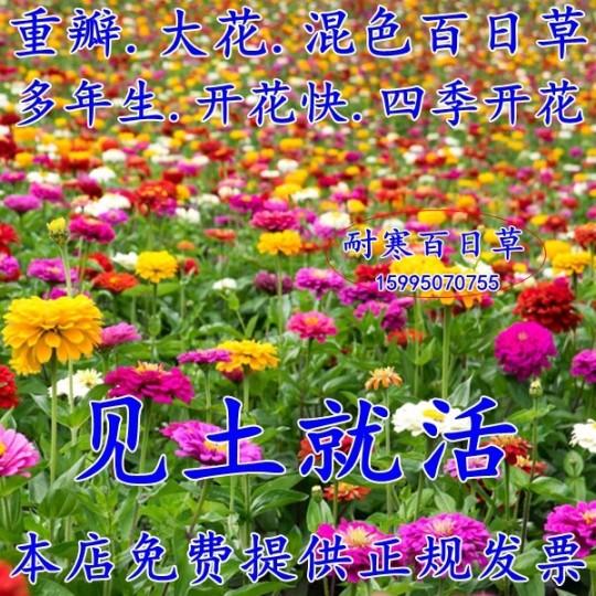 多年生百日草種子