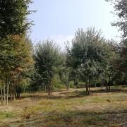 50公分丛生榉树