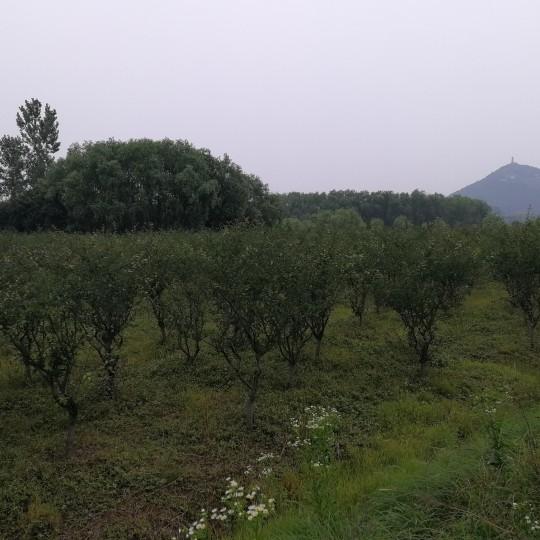 浙江5公分垂丝海棠