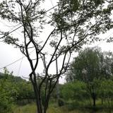 40丛生朴树