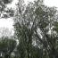 80丛生朴树