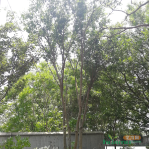 50丛生朴树