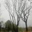 100丛生朴树