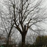 58公分黄连木