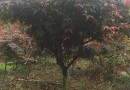 8公分红枫