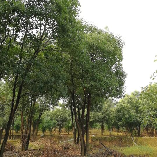 25公分丛生香樟