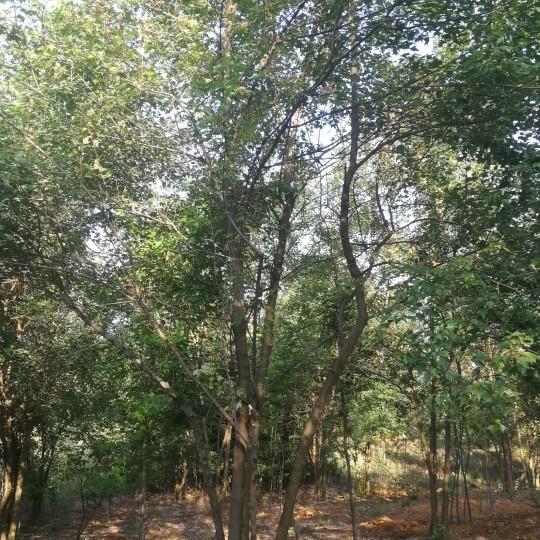 25公分叢生三角楓