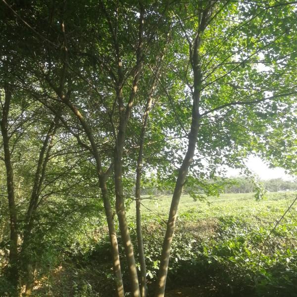 25公分丛生三角枫