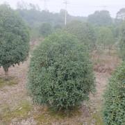 20公分桂花多少钱 20公分桂花树价格