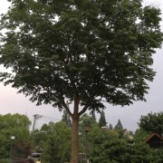 25公分栾树