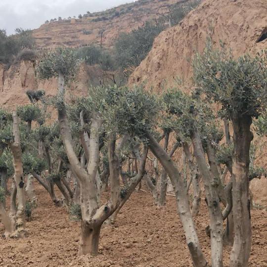 油橄榄盆景