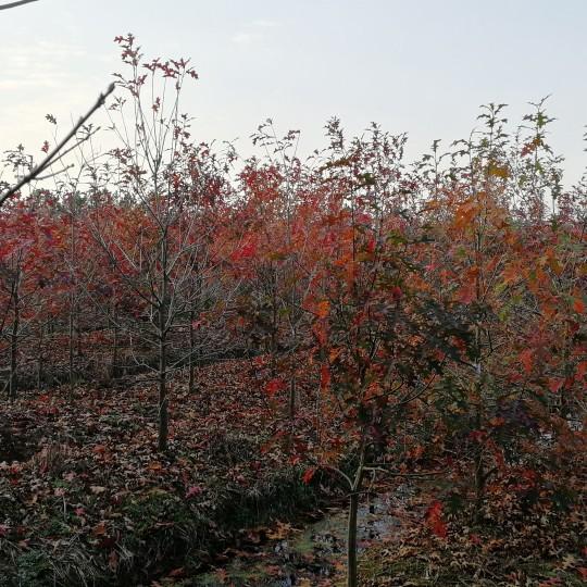 5公分娜塔櫟
