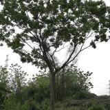18公分朴树