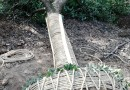 10公分三角枫