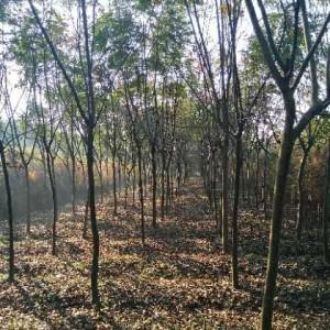 8公分黄山栾树 绿化工程用苗