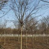 8公分朴树