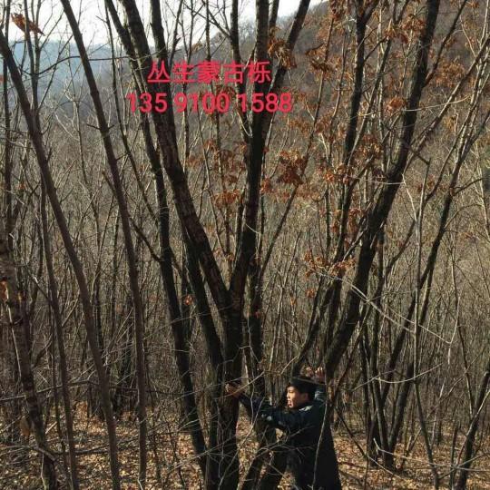 叢生蒙古櫟
