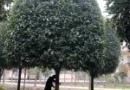 金桂3米高