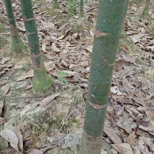 10公分发财树