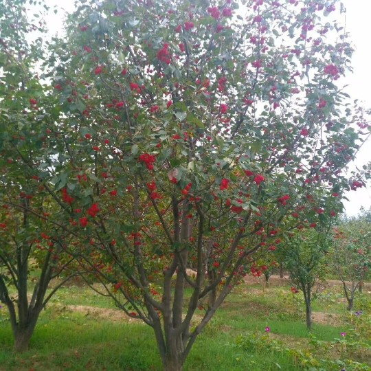 18公分八棱海棠樹