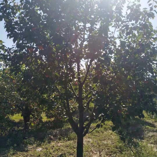 12公分八棱海棠樹