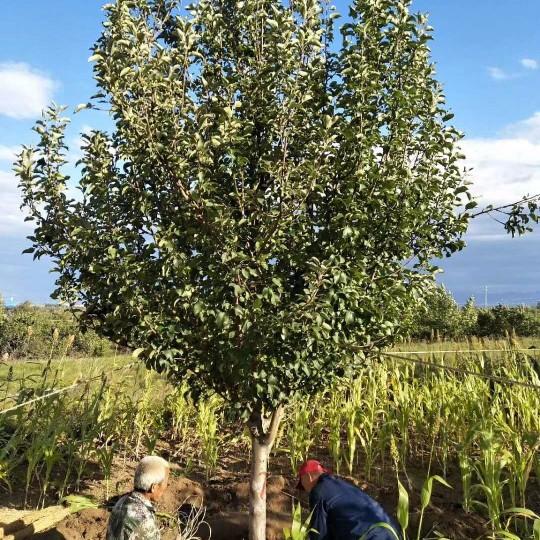 10公分八棱海棠樹