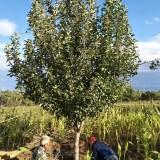 10公分八棱海棠树